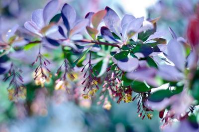 Барбарис по весне барбарис цветение весна цвета