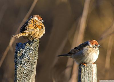 Два нахохлившихся друга:) птицы воробей