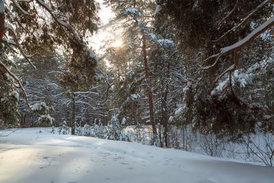 Зимние сосны деревья зимний пейзаж солнце сосны снег