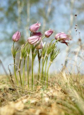 подснежники весна, цветы, подснежники, лес