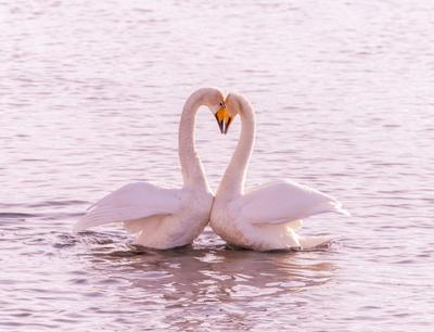 Весна - пора любви... Лебеди-кликуны на Бие