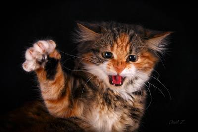 Рррр-мяу! кошка котёнок шипит злая