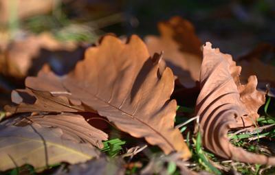 Осенние листья Осень листья дуб макро коричневый свет