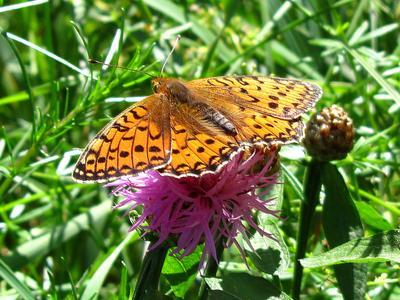 *** бабочки большая перламутровка