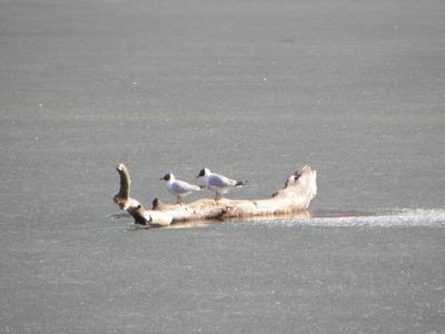 Чайки чайка, лед