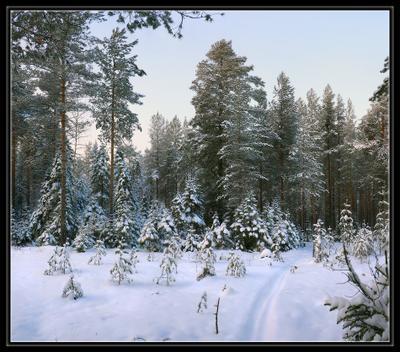 За ёлкой!  зима лес декабрь елки сосны новый год