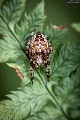 Крестовик (Araneus)