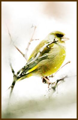 Зеленушка птицы зеленушка