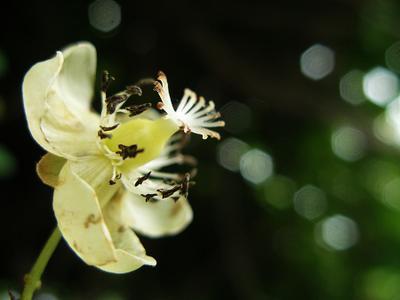 Цветок кишмиша