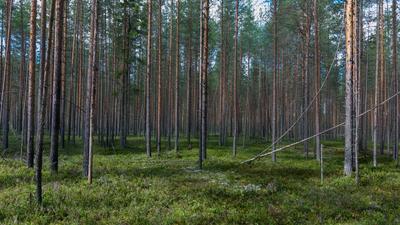 Бор сосны лес мох