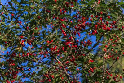 Созрели вишни в саду у дяди Вани... вишни