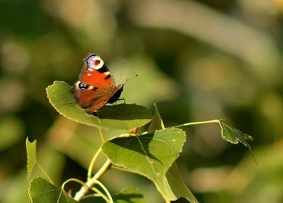 Последняя бабочка этого лета.