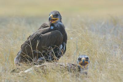 Взрослеющие птенцы орла. лето степь гнездо степного орла