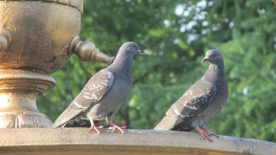 i love you голуби