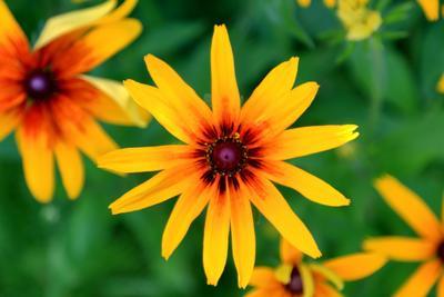 Рудбекия лето цветы