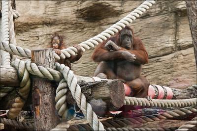 Hello World! орангутан детеныш орангутанша и орангутанчик