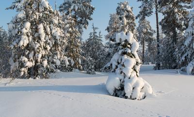 финтифлющенька ели лес зима