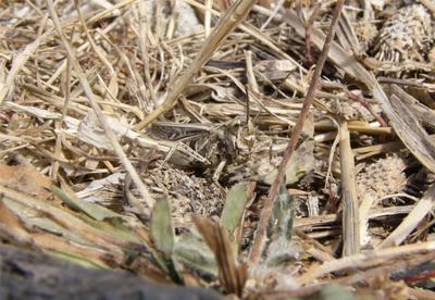 Маскировка прямокрылое насекомое кобылка камуфляж