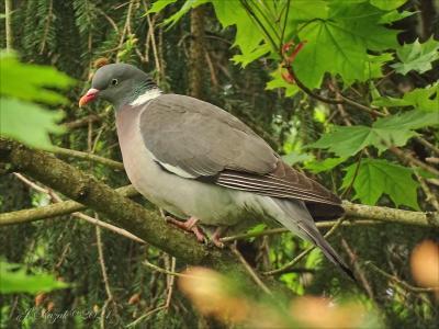 Вяхирь. животные природа птицы фауна