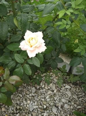 Роза 🌹 Роза белая