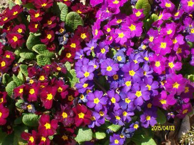 примула цветы