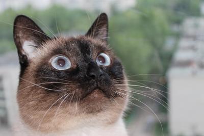 Мечтатель Тайские кошки кот домашние животные