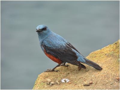 Синий каменный дрозд. Птицы природа