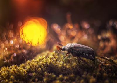 провожая солнце майский жук закат солнце мох боке макро