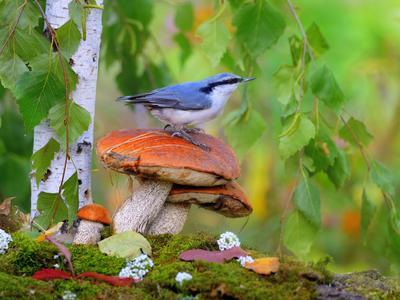 В осеннем лесу 4 природа птицы фотоохота поползень осень грибы