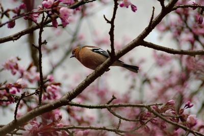 На цветущей сакуре зяблик сакура цветы весна
