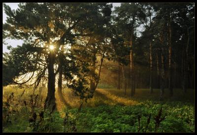 Светозарная рассвет, сосна, Сибирь
