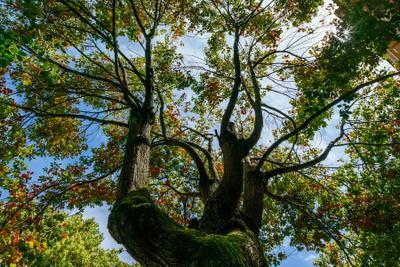 Дерево в Батуми дерево листья ветки листва зеленый красный небо вверх крона Батуми Грузия весна