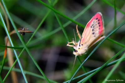 Лишайница розовая и чудо-юдо