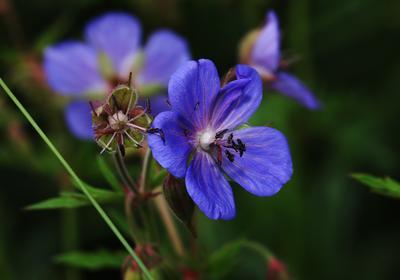 Герань луговая лето цветок жара