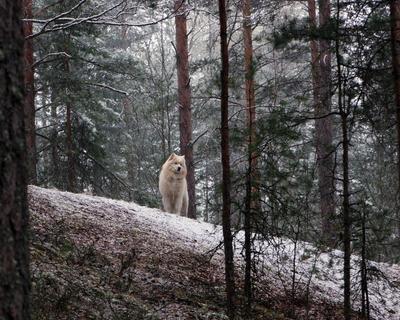 Первомайский снег Снег Первомай Лайка самоед