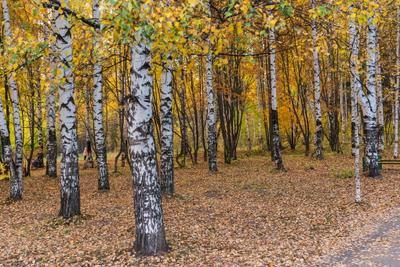 Берёзовая осень