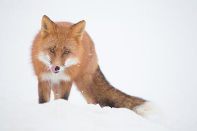 Тут заяц не пробегал? Камчатка лиса животные природа путешествие фототур зима