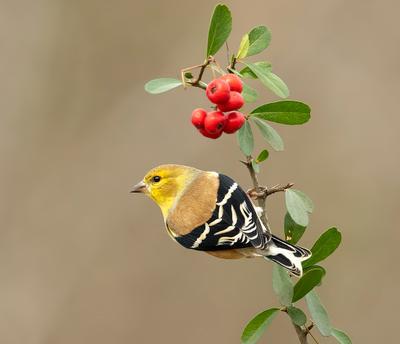 American Goldfinch - Американский чиж