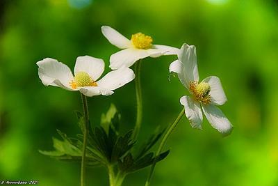 Анемоны природа весна лес.растительный мир цветы.анемоны