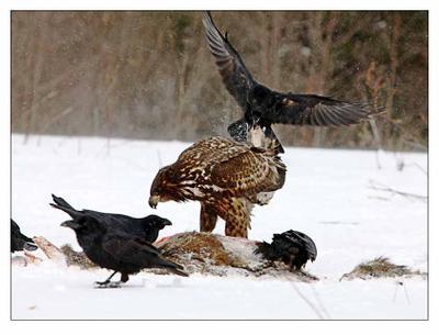 Мясом надо делиться! Орлан-белохвост ворон фотоохота