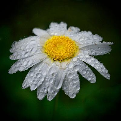 Ромашка Ромашка после дождя