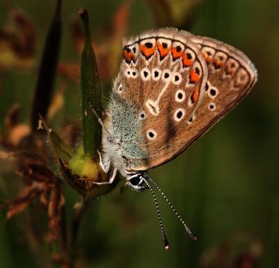 Голубянка на цветочке лето трава бабочка