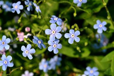майские незабудки незабудки цветы май