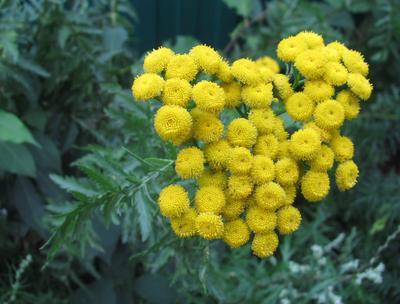 Пижма Август цветы пижма
