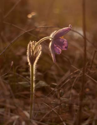 *** цветы сон-трава лес весна природа