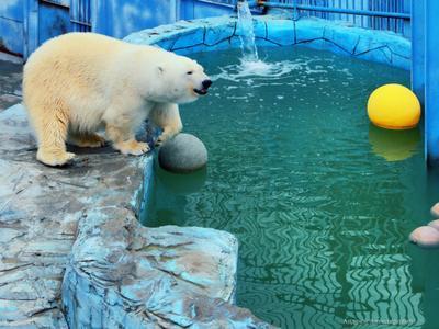 Из жизни белых медведей Екатеринбург зоопарк медведь белый животные