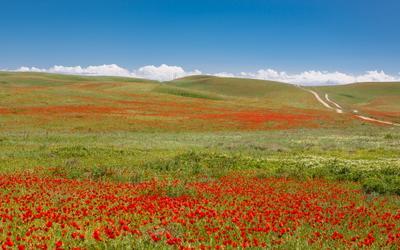 За маковым полем будут облака, а из них дорога - молочная река... маки, казахстан, кыргызстан