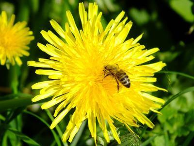 *** цветы.насекомые.пчела.лето.природа