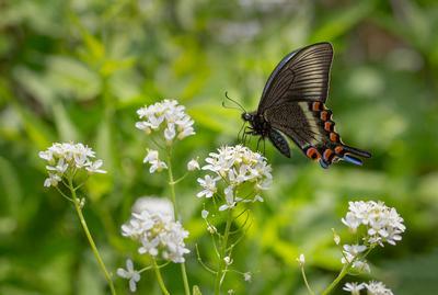 Парусник Маака #2 парусник Маака Papilio maackii Приморье Владивосток остров Русский