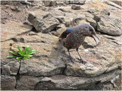 Синий каменный дрозд Птицы природа